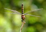 greater-crimson-glider-87063_150